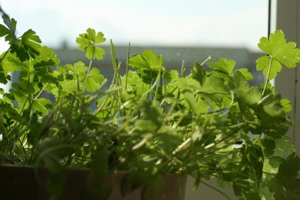 come coltivare il prezzemolo Come coltivare il prezzemolo: trucchi e consigli
